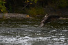 Fishing Osprey 18