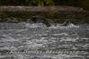 Fishing Osprey 9