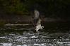 Fishing Osprey 19