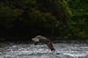 Fishing Osprey 20