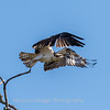 Osprey Frederick 20 September 2017-8273