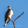 Osprey Frederick 20 September 2017-8236