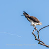 Osprey Frederick 20 September 2017-8261