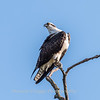 Osprey Frederick 20 September 2017-8253