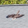 Osprey Frederick 1 October 2017-9780