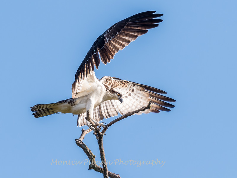 Osprey Frederick 20 September 2017-8264