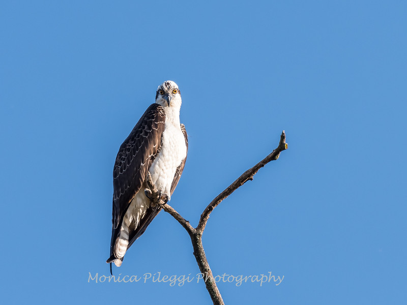 Osprey Frederick 20 September 2017-8232