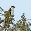Osprey Frederick 20 September 2017-8191