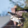 Osprey Frederick 20 September 2017-8448