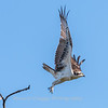 Osprey Frederick 20 September 2017-8274