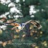 Osprey Frederick 1 October 2017-9858