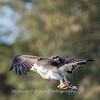 Osprey Frederick 20 September 2017-8447