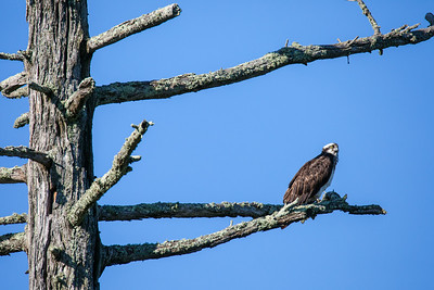 """OSPREY 8326  """"Osprey on watch""""  An adult Osprey keeps watch over its nest which is in a nearby tree."""