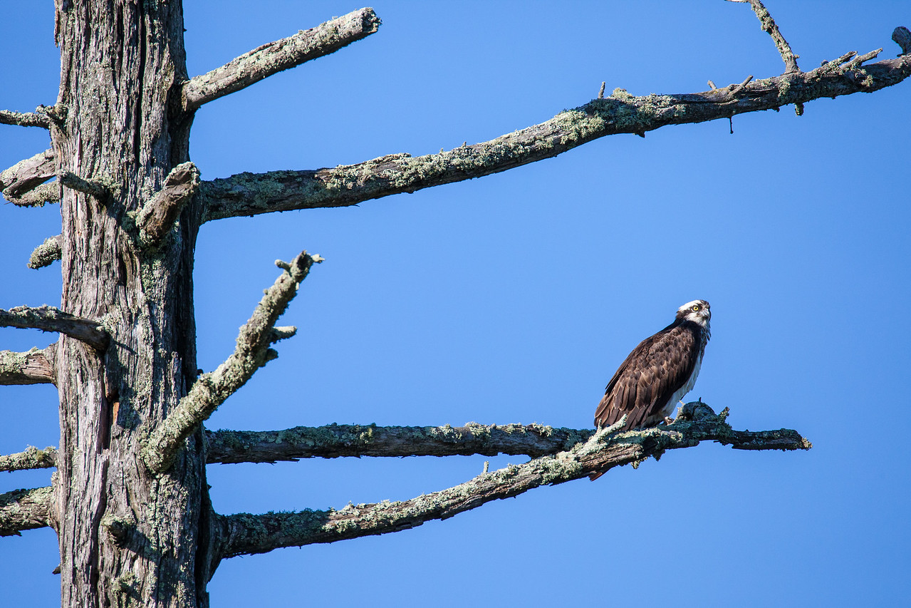 "OSPREY 8326<br /> <br /> ""Osprey on watch""<br /> <br /> An adult Osprey keeps watch over its nest which is in a nearby tree."
