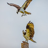 Osprey Fighting
