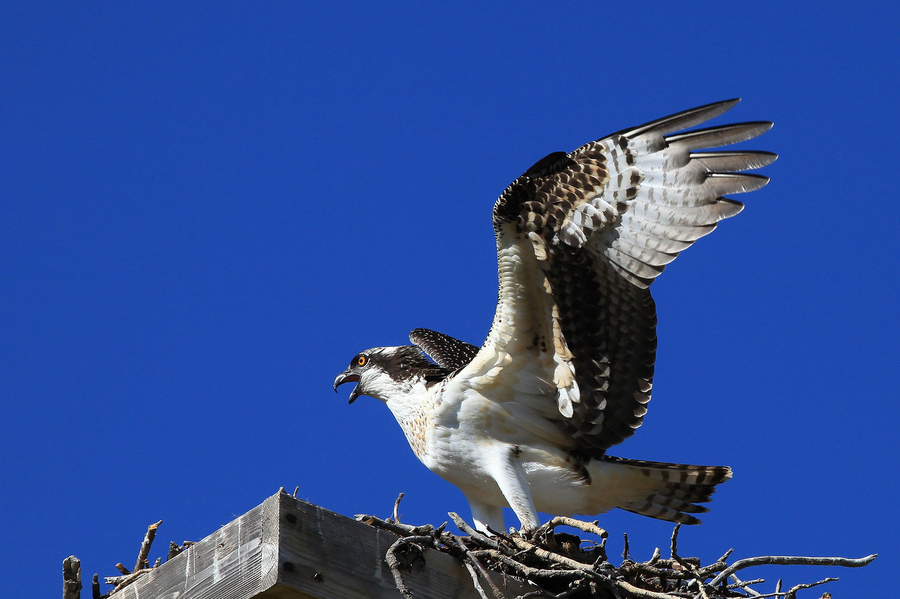 "ANIMALS BY AIR 7535<br /> <br /> ""Wyoming Osprey""<br /> <br /> Taken in Jackson Hole on the edge of Grand Teton National Park."