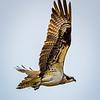 Osprey: Flight