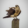 Angry Osprey