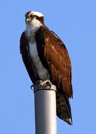 Osprey/Red Tail