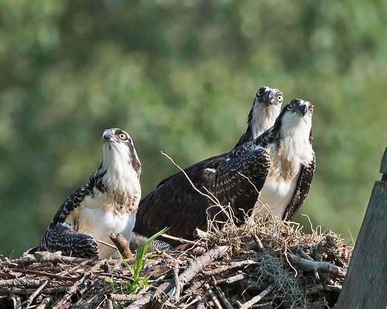Cavalier Osprey Family