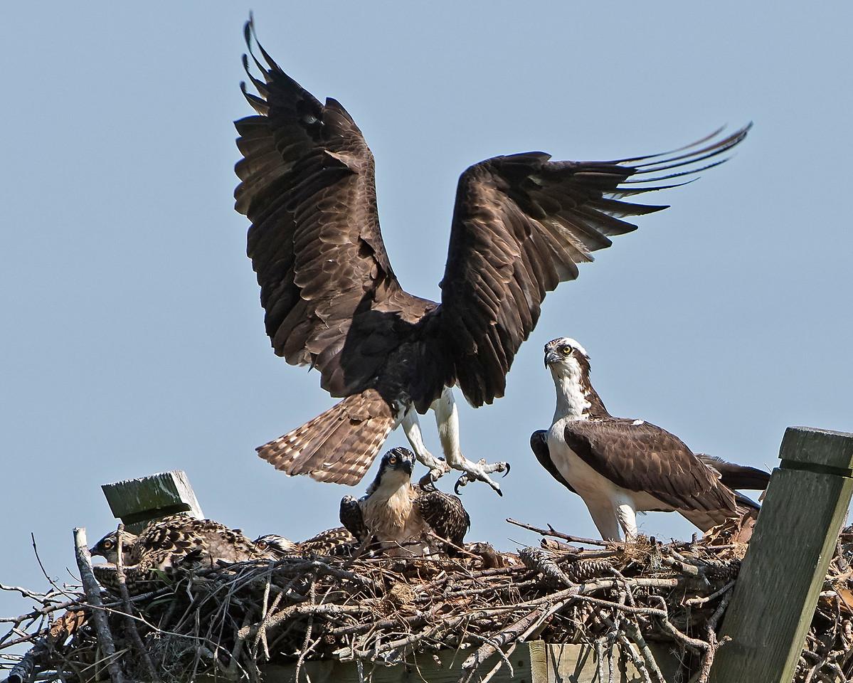 Mom Osprey Flys In