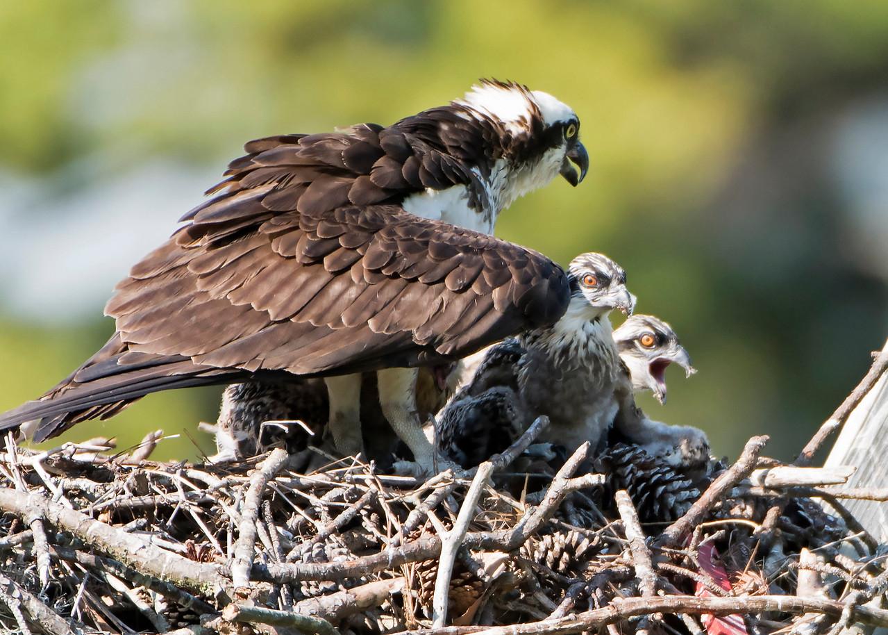 Osprey Mom and Chicks