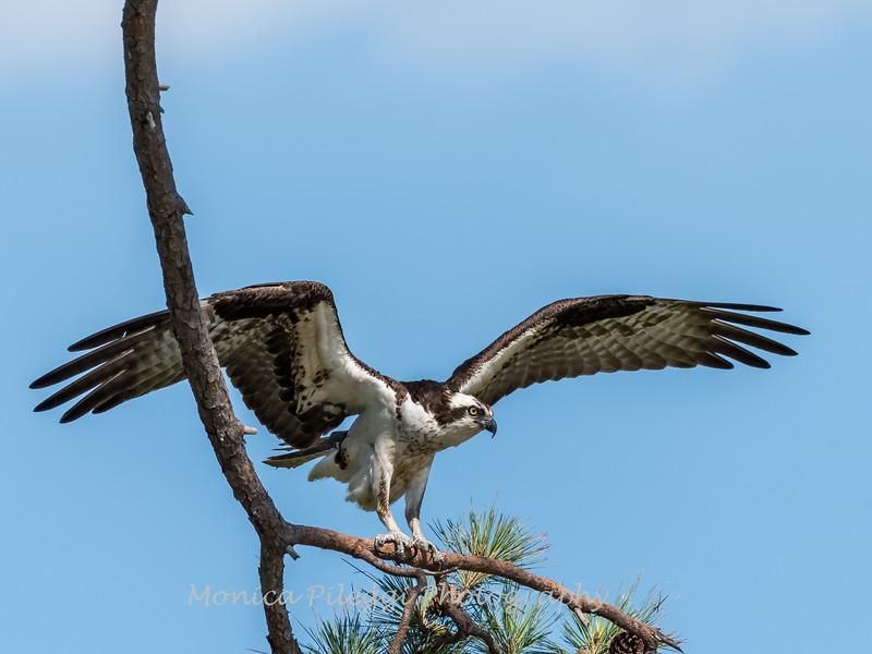 Virginia-Birds-June-20177433