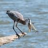 Virginia-Birds-June-20177449