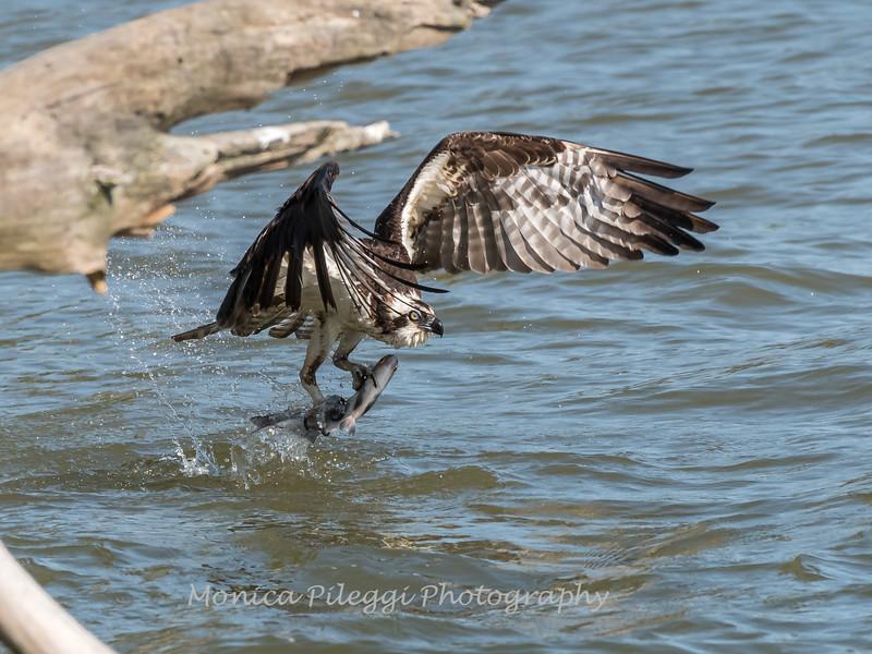 Virginia-Birds-June-20177506