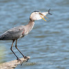 Virginia-Birds-June-20177455