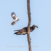 Virginia-Birds-June-20178298