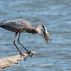 Virginia-Birds-June-20177457