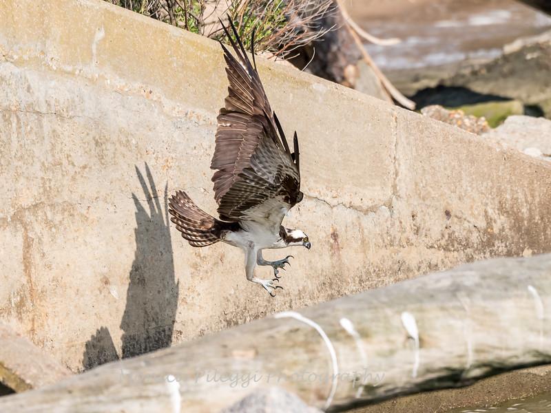 Virginia-Birds-June-20178242
