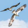 Virginia-Birds-June-20178308