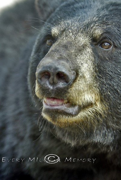 You could almost feel the breath on the camera lens at this distance - Oswalds Bear Ranch, Michigan