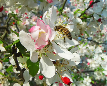 Bee on bloom.