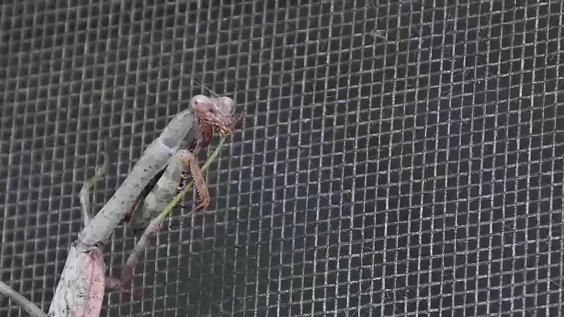 mantis stabilized
