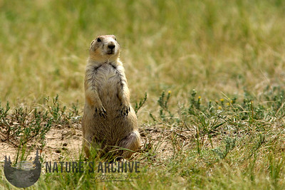Prairie Dog, Devils Tower, WY