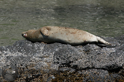Sea Lion, Yaquina Bay, OR