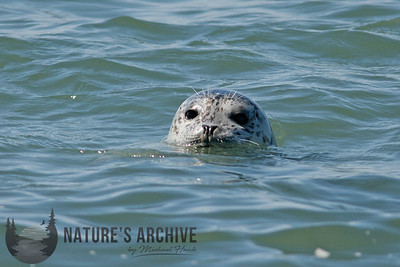 Harbor Seal, Yaquina Bay, OR