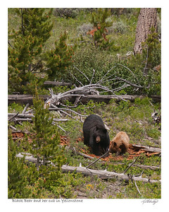 Black Bear and her cub in Yellowstone Park Wyoming