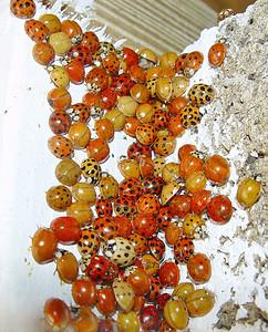 Ladybug convention.