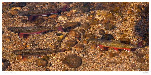 Brook Trout near Estes Park Colorado