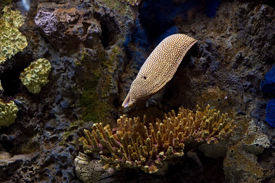 Moray eel at Monterey Bay Aquarium
