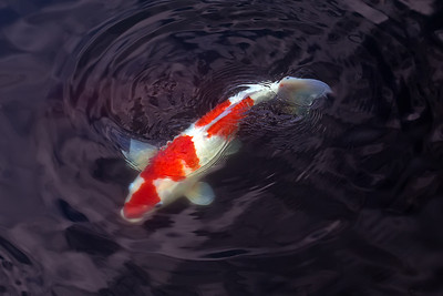 Japanese Koi in my pond.