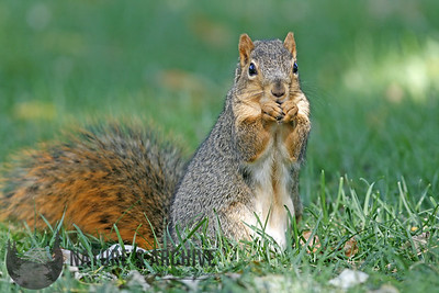 Fox Squirrel, Omaha, NE