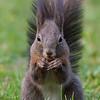 Squirrel - Eichhörnchen in Schöbrunn