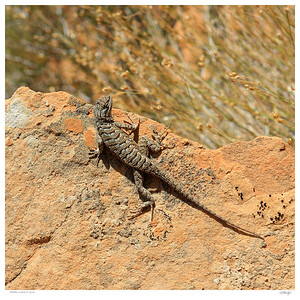 Plateau Lizard on Observation Point Train in Zion Park, Utah