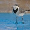 Vogel im Hotel Pool