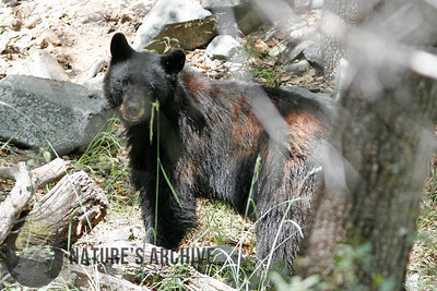 Black Bear, Madera Canyon, AZ